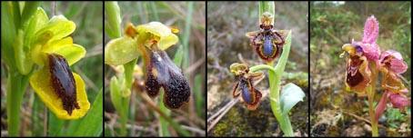 4ophrys4.jpg