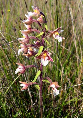 epipactispalustris.jpg