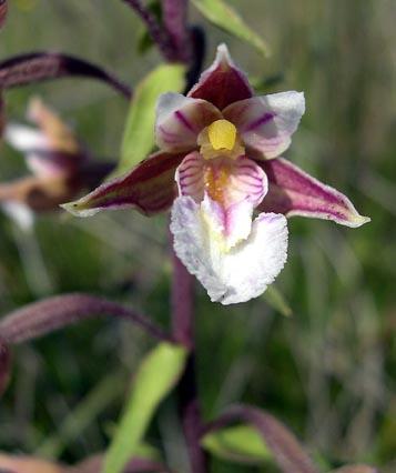 epipactispalustris2.jpg
