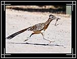 geococcyx_californianus.jpg