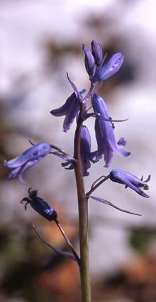 hyacinthoides_hispanica.jpg