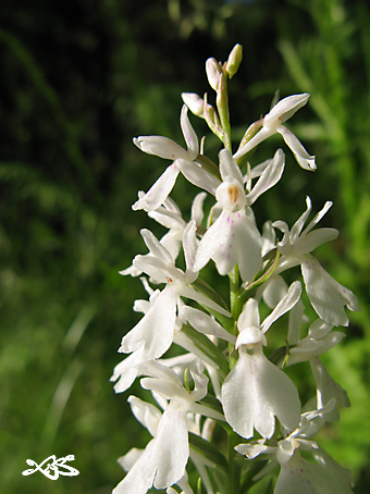maculata15.jpg