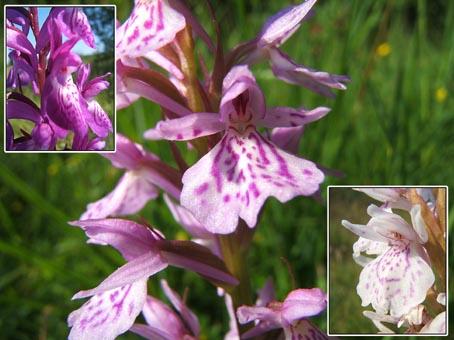 maculatas.jpg