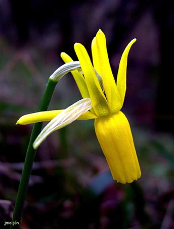 narcissus_cyclamineus1.jpg
