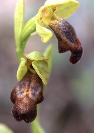 ophrys_fusca.jpg