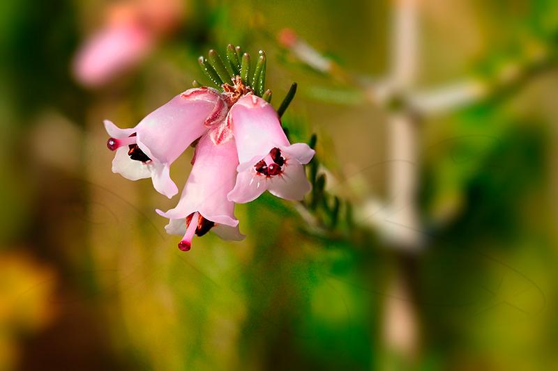 erica_australis_clop.jpg