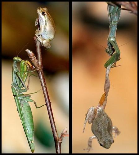 mantis_ra.jpg